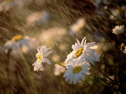 daisies-under-rain-wallpaper-1024x768-0152